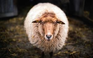 Фотография Овцы Смотрит Животные