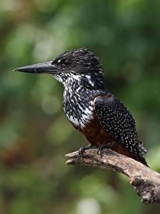 Обои Птица Размытый фон Клюв Ветвь Giant kingfisher, Megaceryle maxima Животные