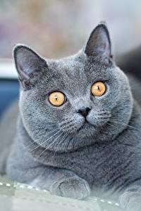 Картинка Кошка Британская короткошёрстная Смотрит Серые Морда Животные