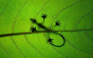 Фотографии Крупным планом Ящерицы Листья Силуэт Природа Животные