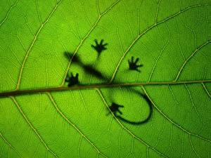 Фотографии Крупным планом Ящерицы Листья Силуэта Природа Животные