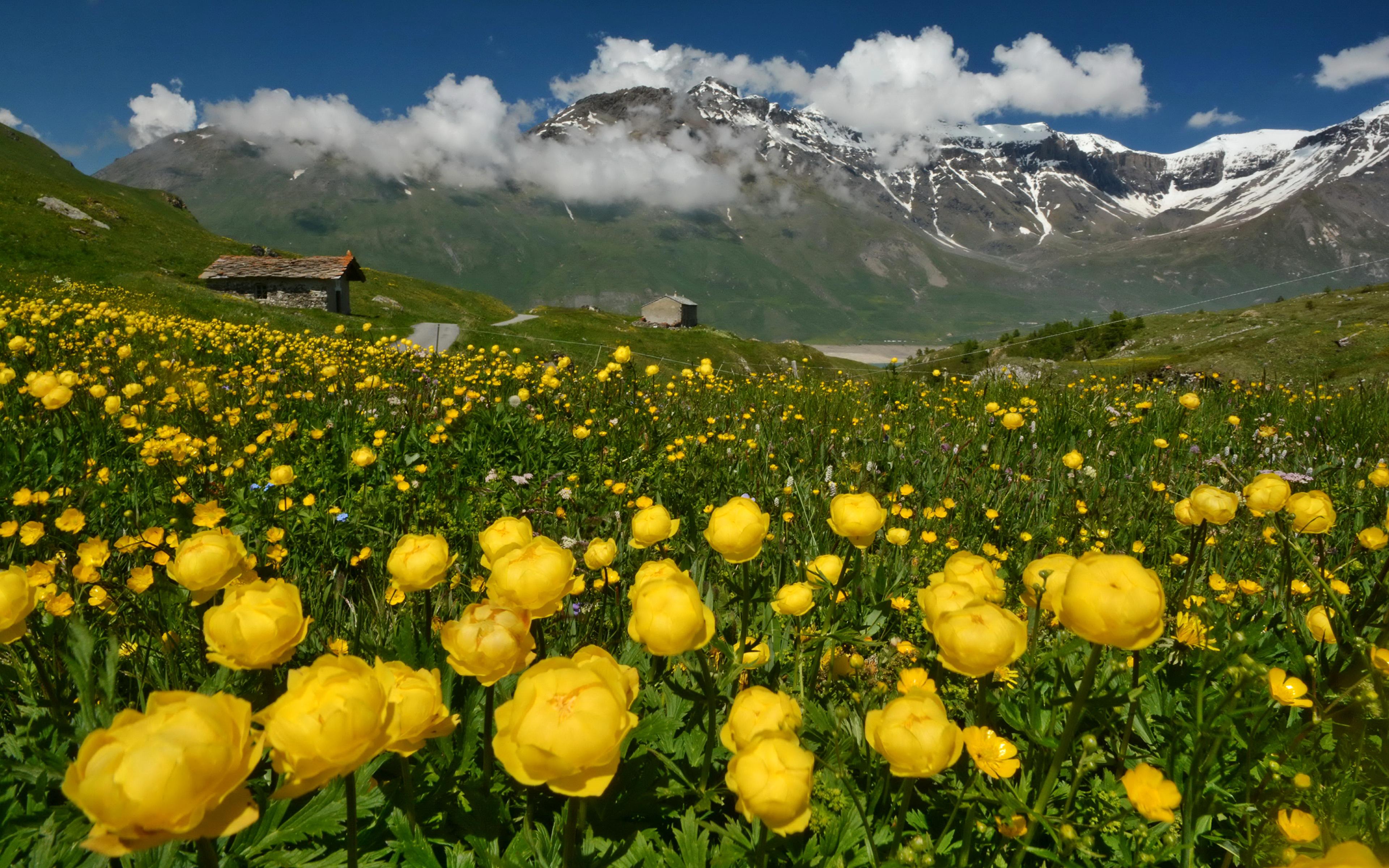 Фото цветы в альпах