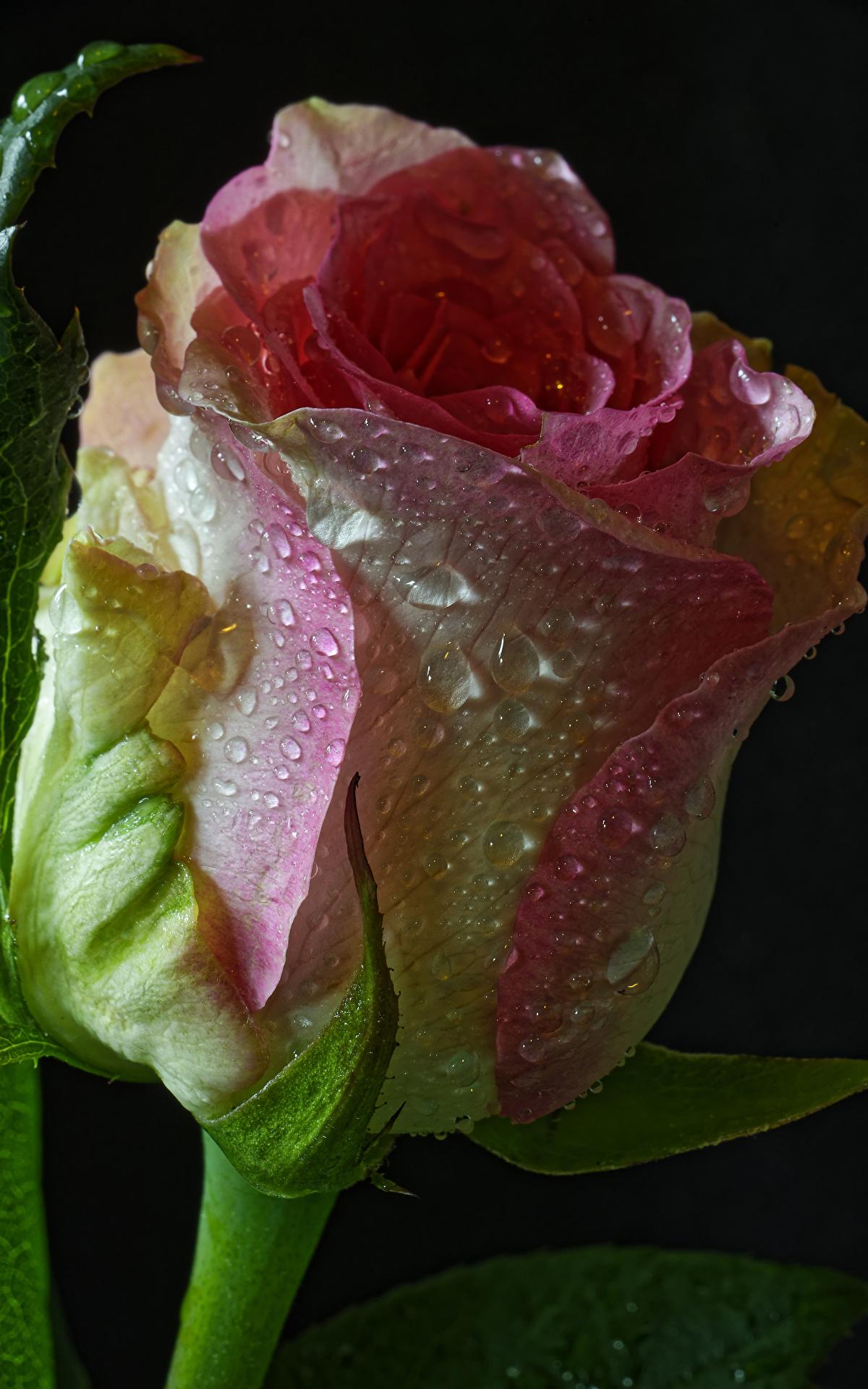 Картинки Розы Цветы Капли Черный фон Крупным планом 1200x1920 капля капель капельки вблизи