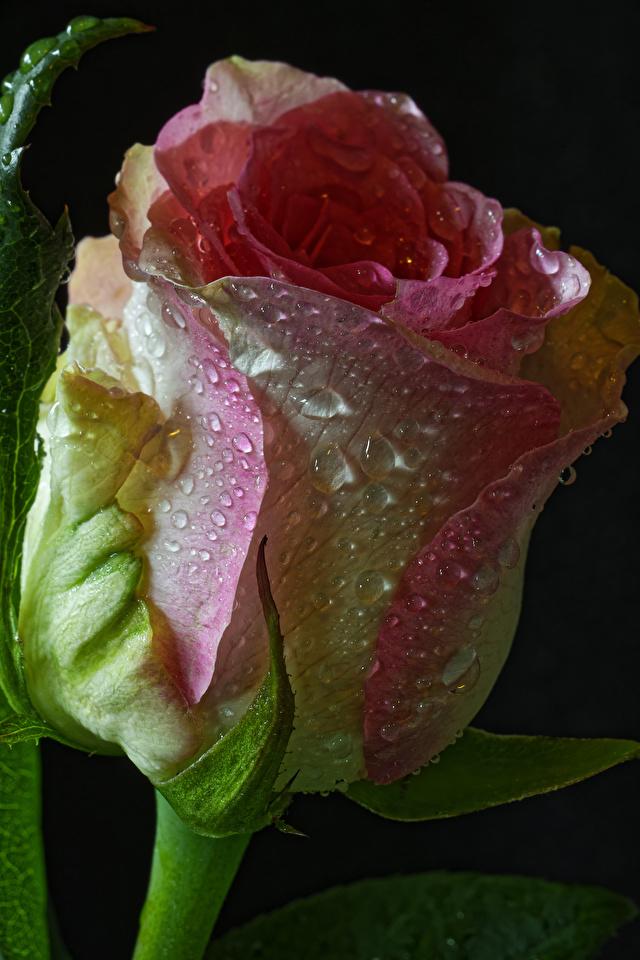 Картинки Розы Цветы капля Черный фон Крупным планом 640x960 для мобильного телефона роза Капли капель цветок капельки вблизи на черном фоне