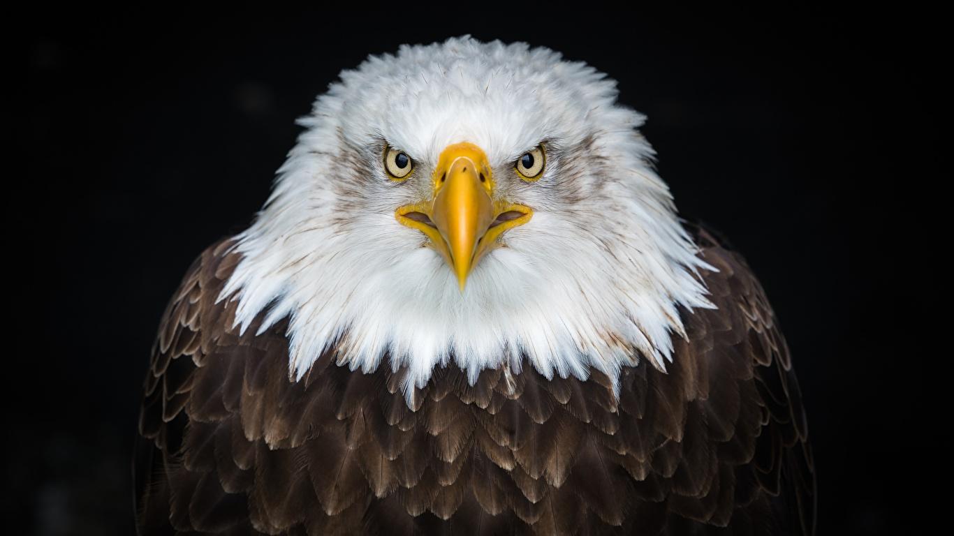 Обои для рабочего стола орел Недовольство Клюв смотрят животное на черном фоне 1366x768 Орлы Хмурость Взгляд смотрит Животные Черный фон