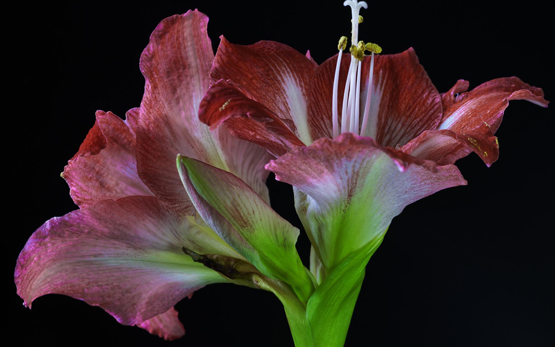 Картинки Цветы Амариллис Бутон вблизи Черный фон 1920x1200 Крупным планом