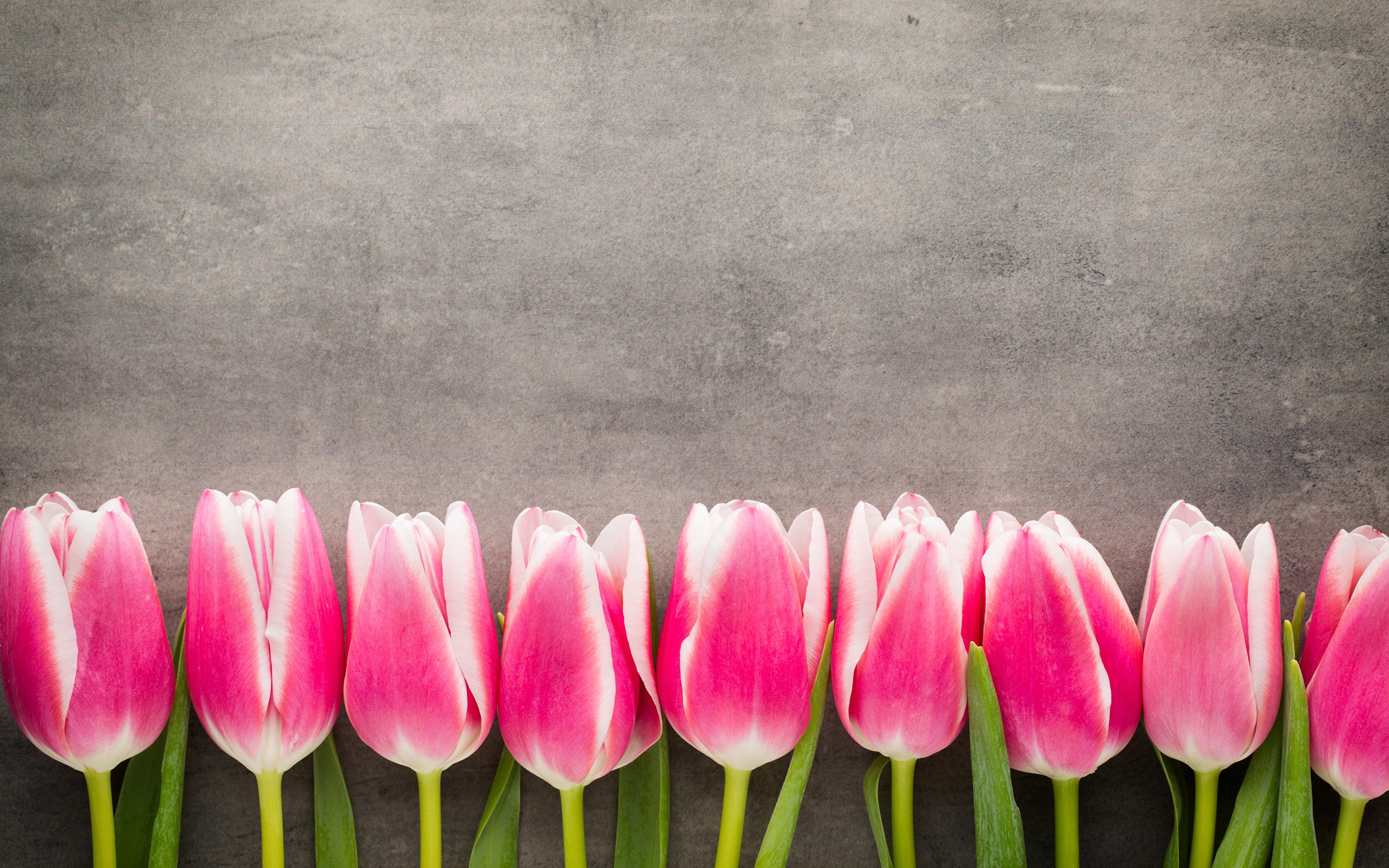 Картинка розовая Тюльпаны цветок 3840x2400 розовых розовые Розовый тюльпан Цветы