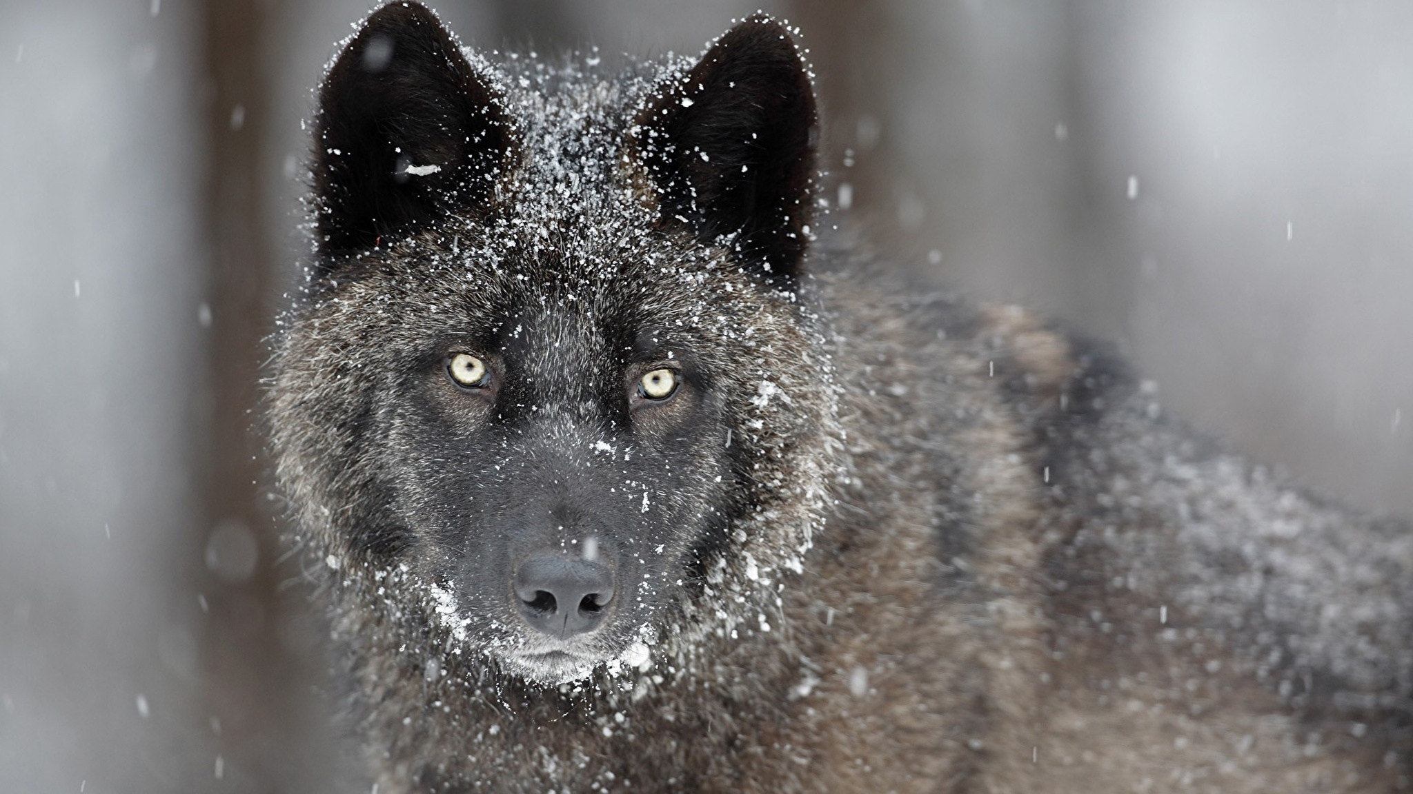 природа животное морда волк без смс