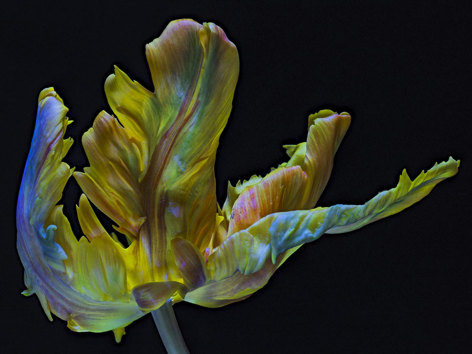 Обои для рабочего стола Parrot Tulip тюльпан Цветы вблизи на черном фоне 1600x1200 Тюльпаны цветок Черный фон Крупным планом