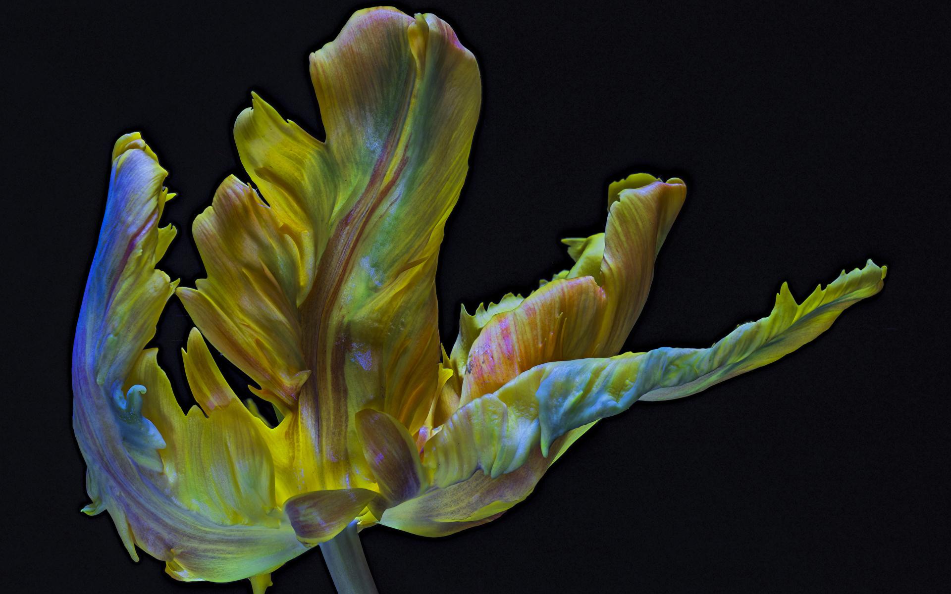Обои Parrot Tulip Тюльпаны Цветы вблизи Черный фон 1920x1200 Крупным планом