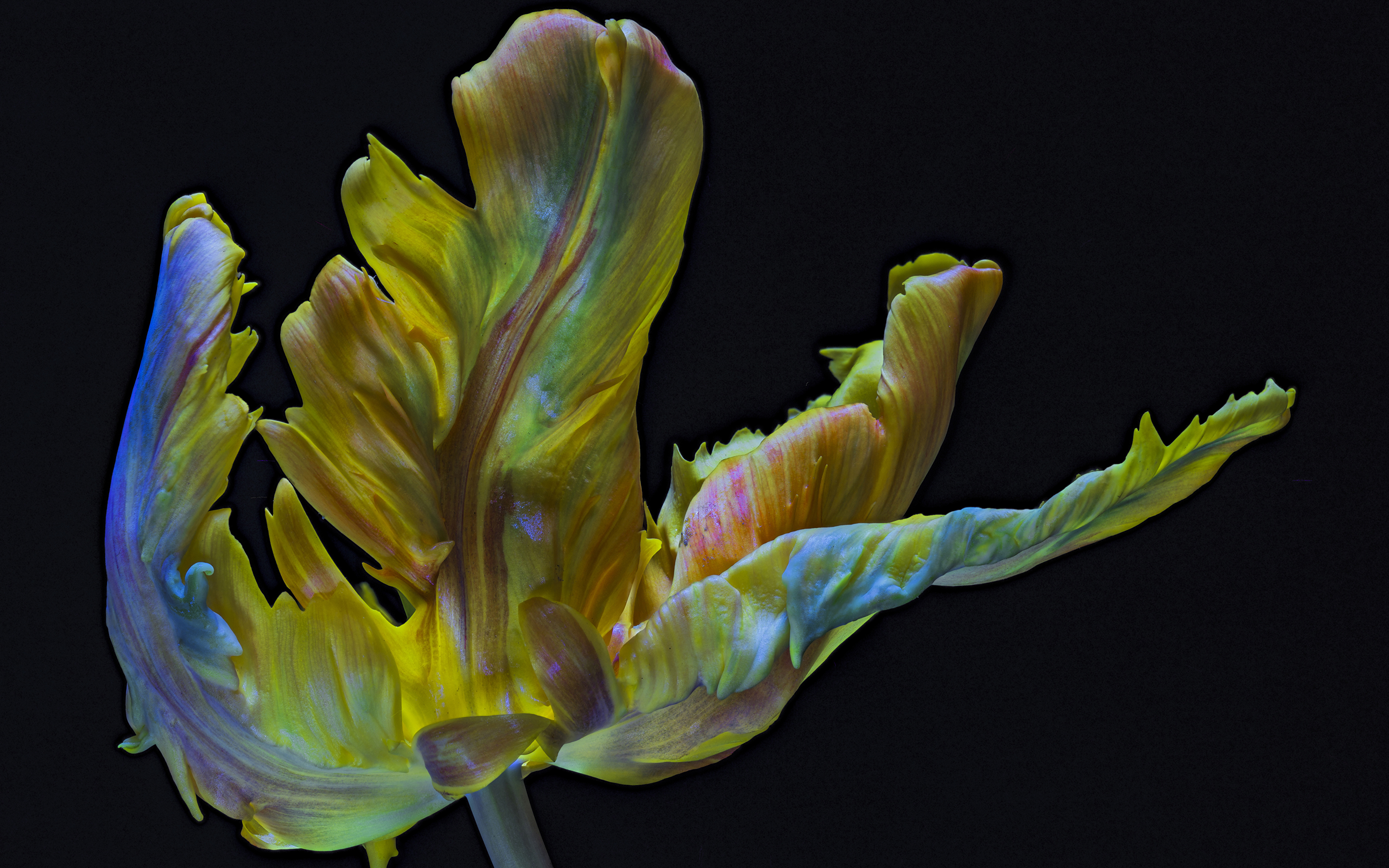 Обои для рабочего стола Parrot Tulip тюльпан Цветы вблизи на черном фоне 3840x2400 Тюльпаны цветок Черный фон Крупным планом