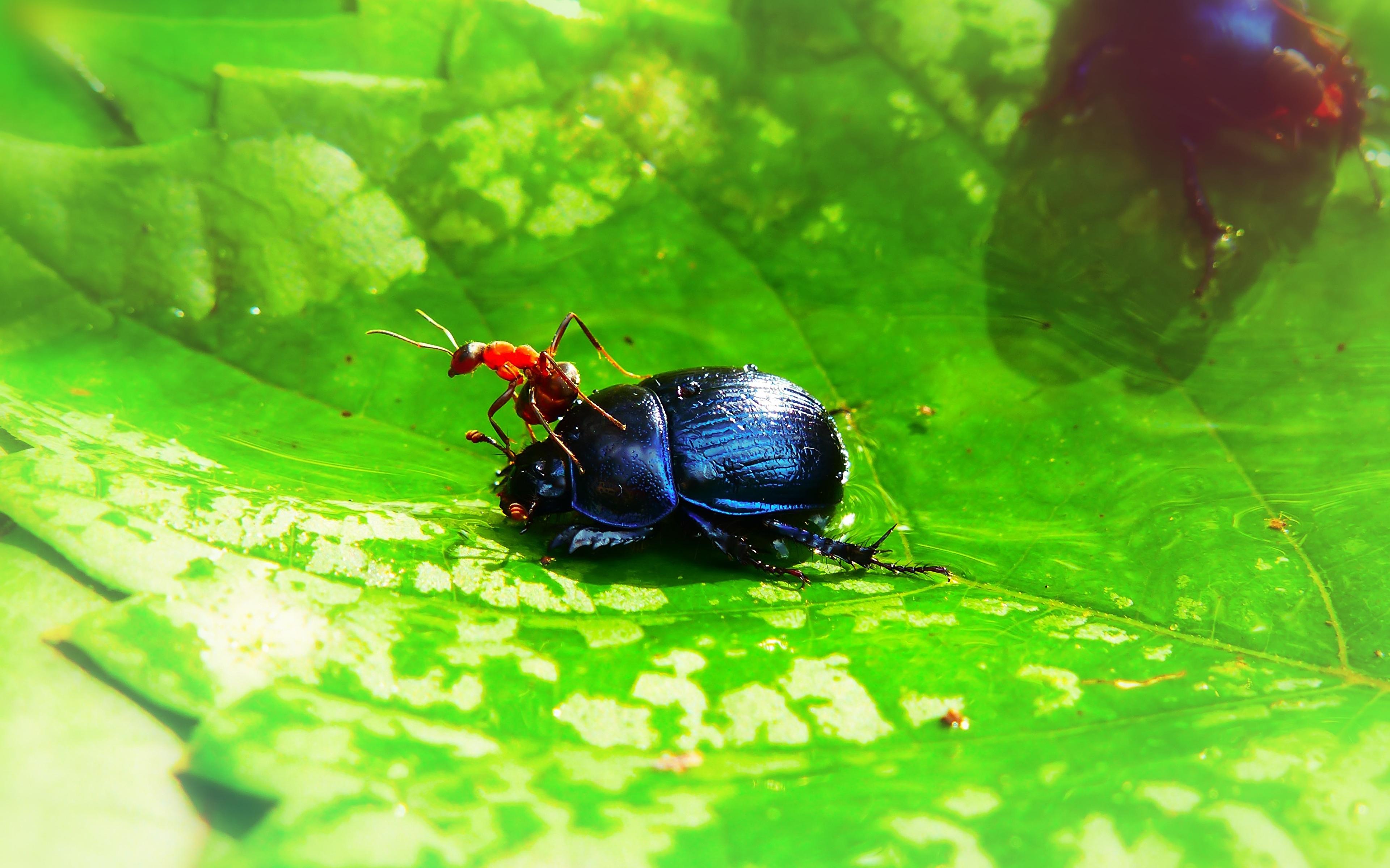 Фотография Жуки Муравьи насекомое Листва животное 3840x2400 Насекомые лист Листья Животные