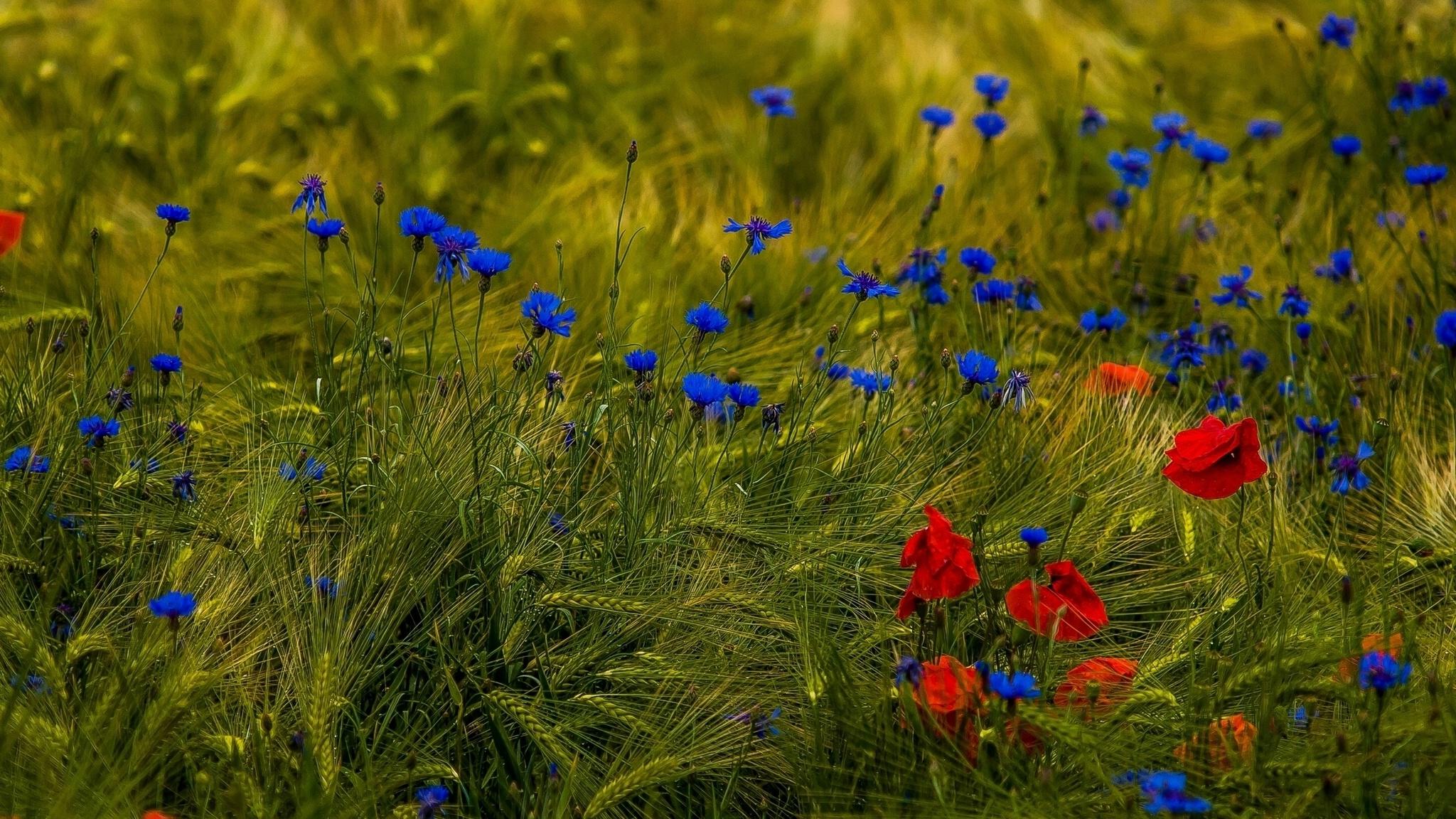 поле, васильки, зелень бесплатно