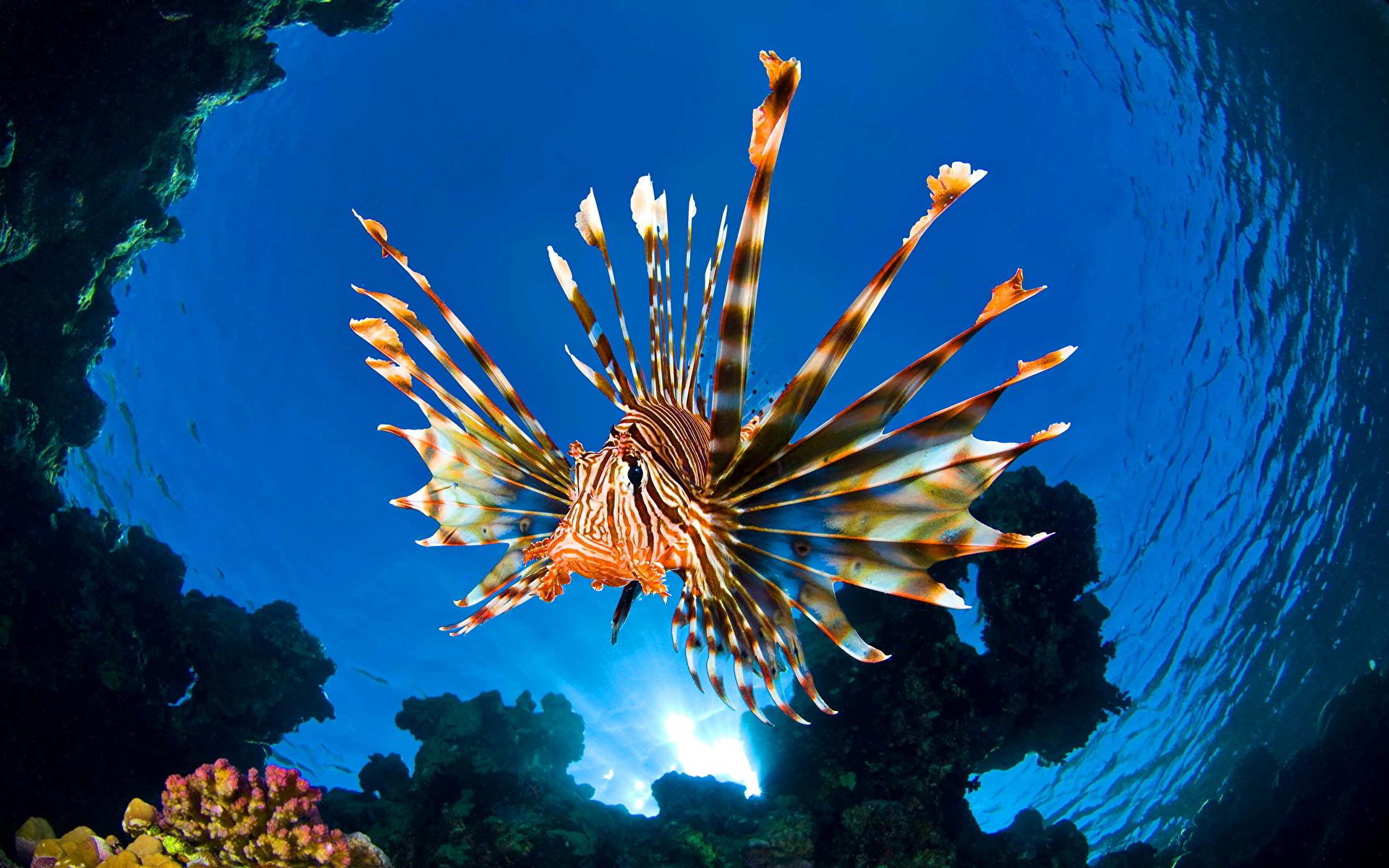 Фотография крылатка Рыбы Подводный мир Вода Животные 1920x1200 Крылатки воде животное