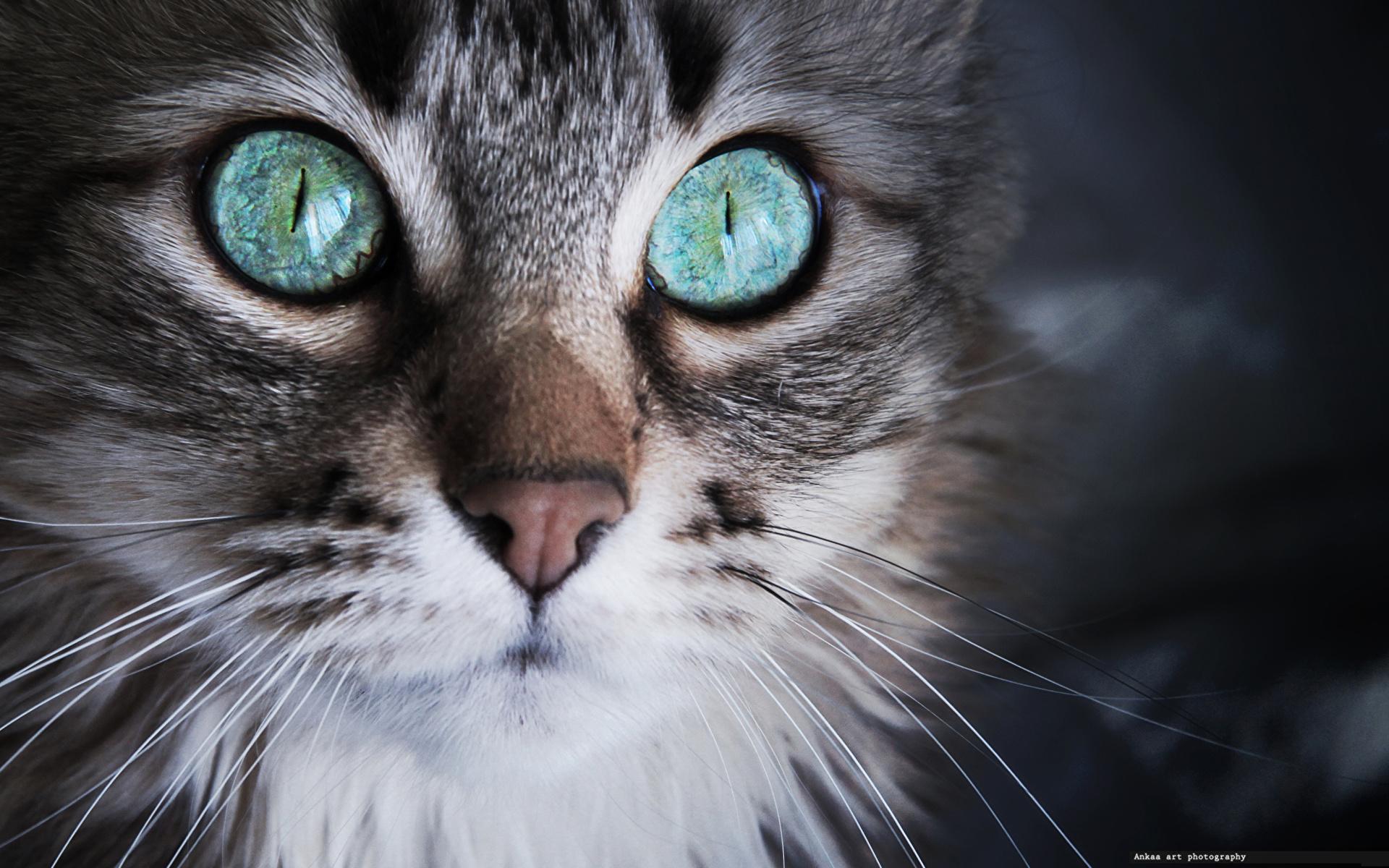 кот с бирюзовыми глазами без смс