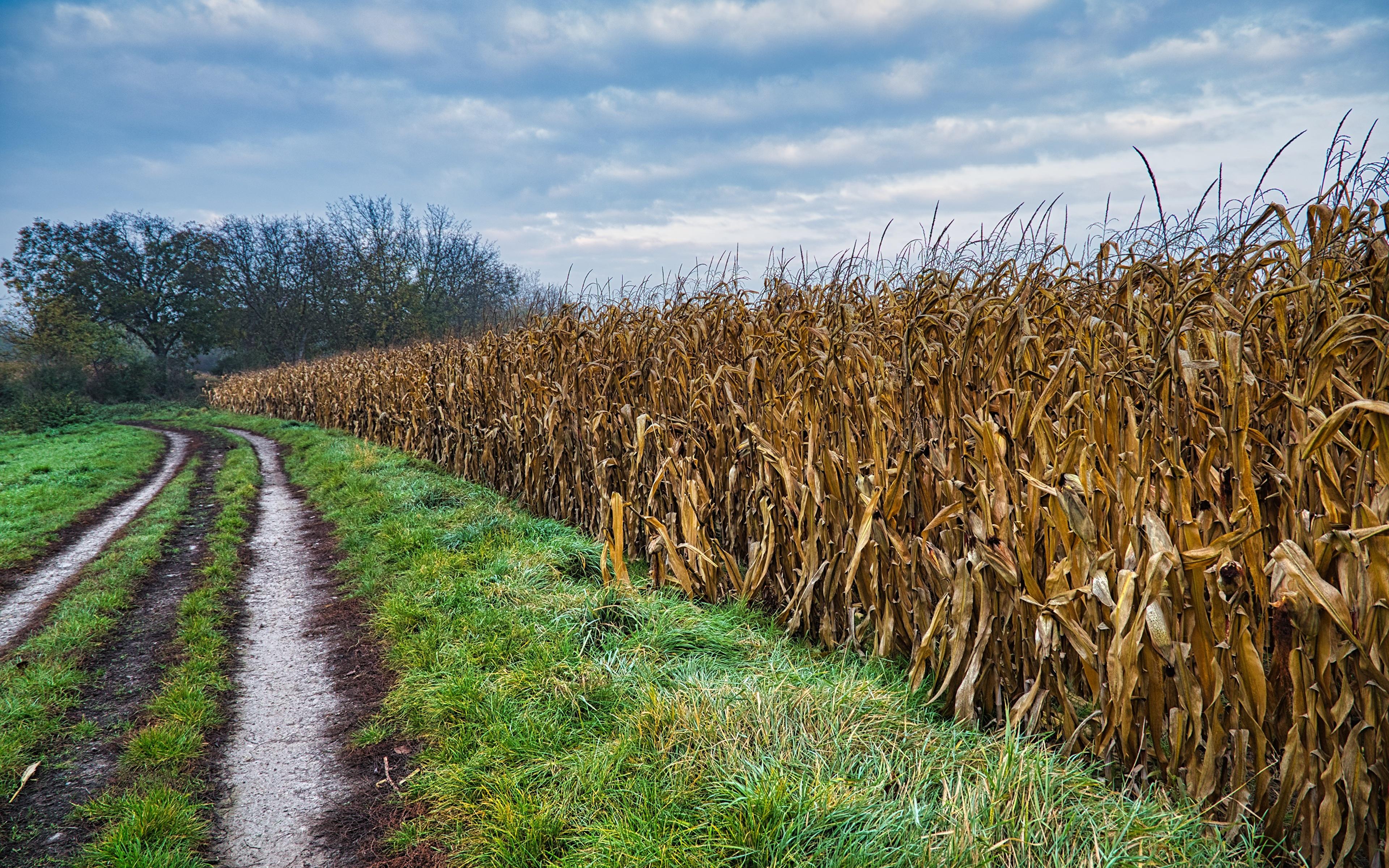 Фото Природа Кукуруза Поля Дороги Трава 3840x2400 траве