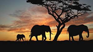 Обои Слоны Африка Силуэт животное