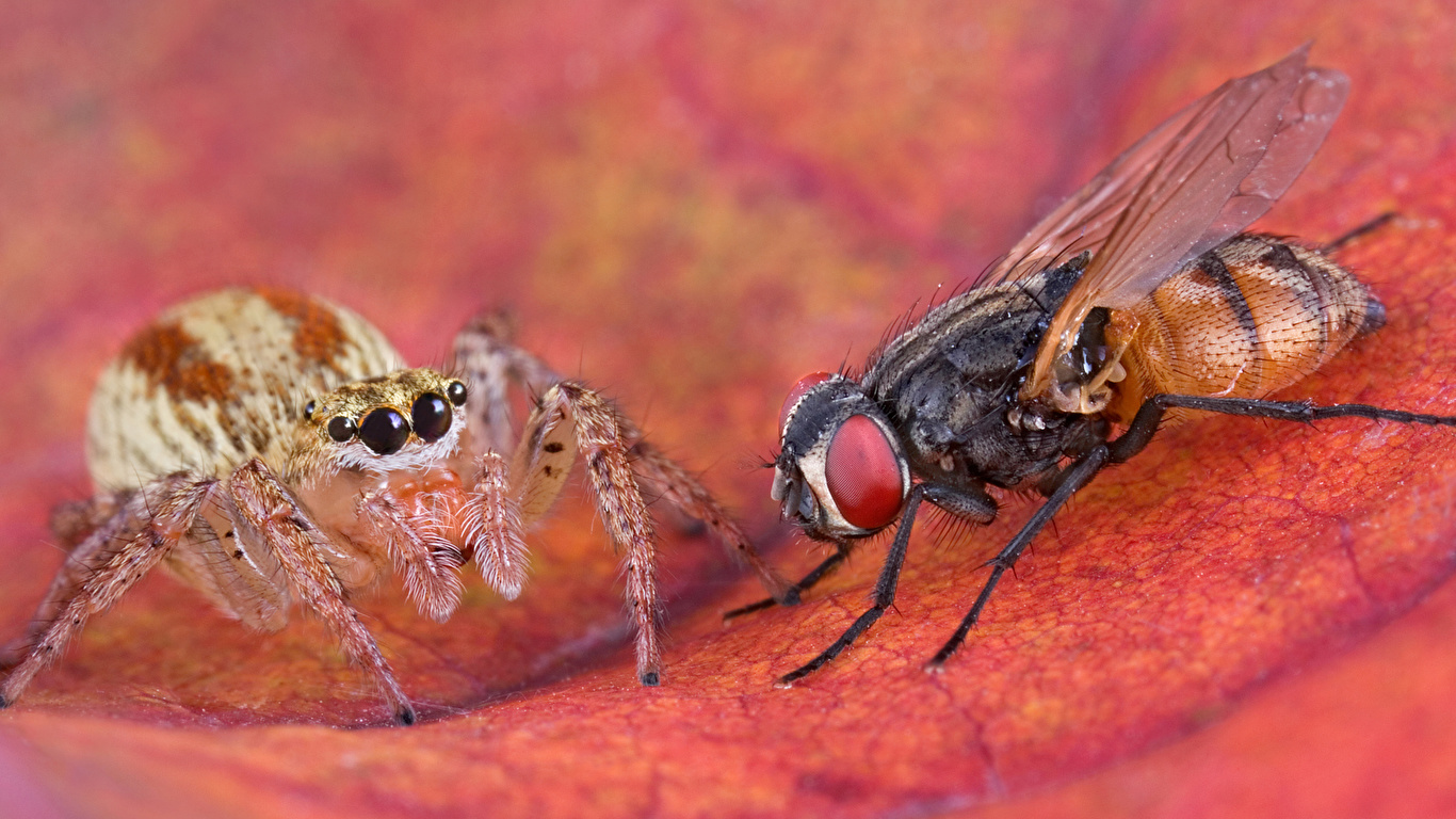 Обои для рабочего стола Пчелы Насекомые животное 1366x768 насекомое Животные