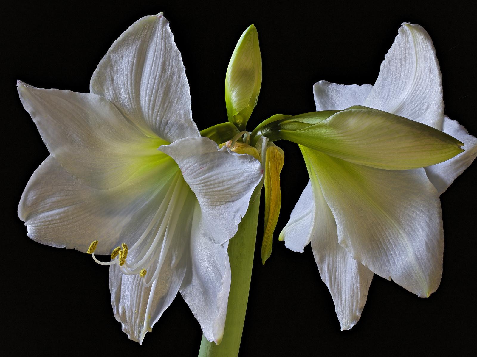 Картинки белые Цветы Амариллис Бутон Черный фон Крупным планом 1600x1200 белых Белый белая цветок вблизи на черном фоне
