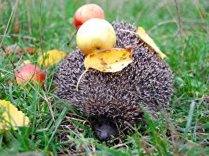Фотография Ежики с яблоками на спине животное