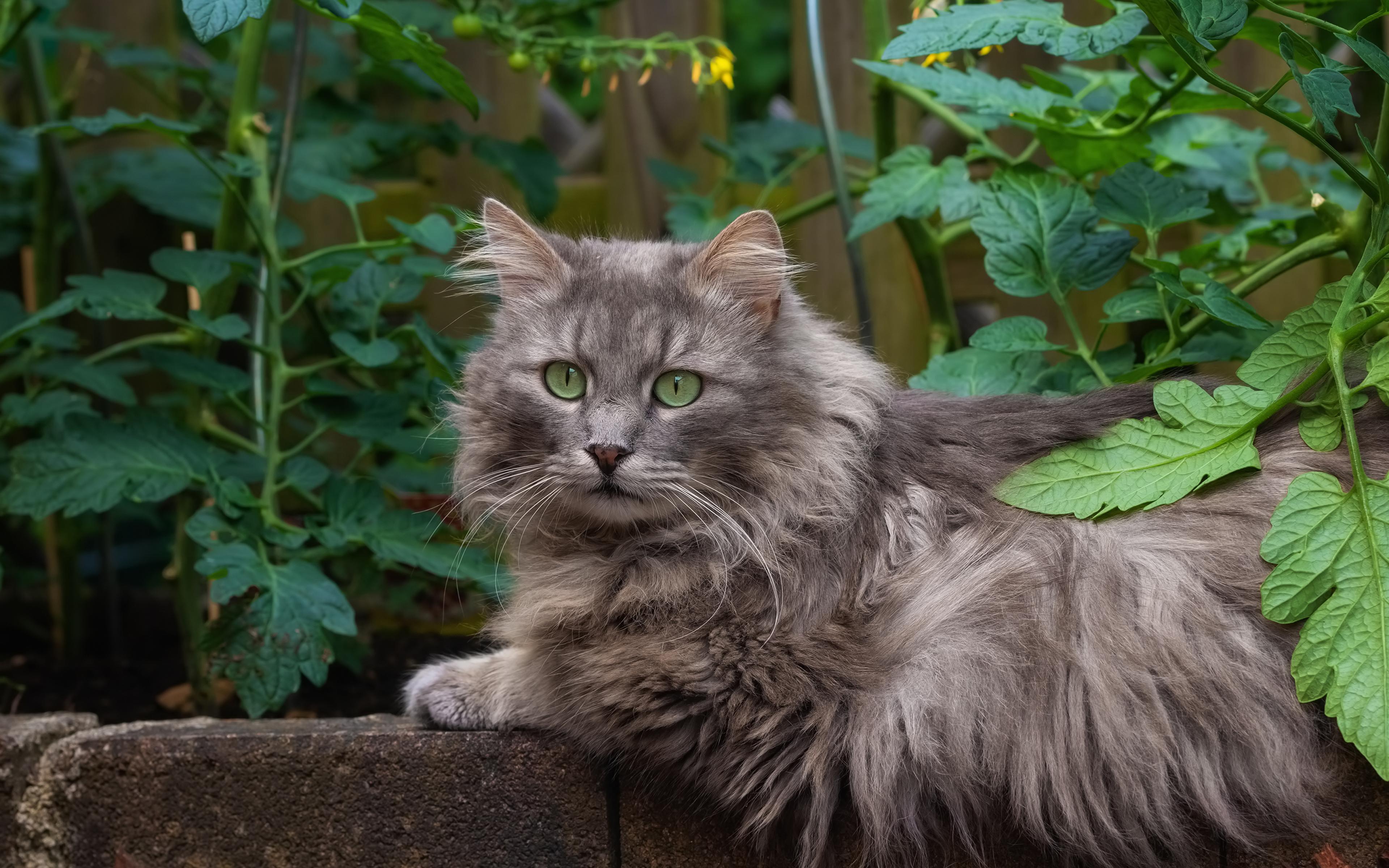 Фотографии кот смотрит животное 3840x2400 коты кошка Кошки Взгляд смотрят Животные