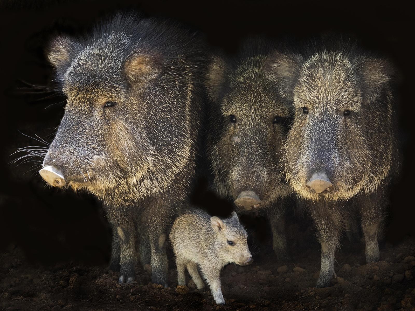 Фотография Кабан Детеныши Четыре 4 Животные 1600x1200 дикая свинья животное