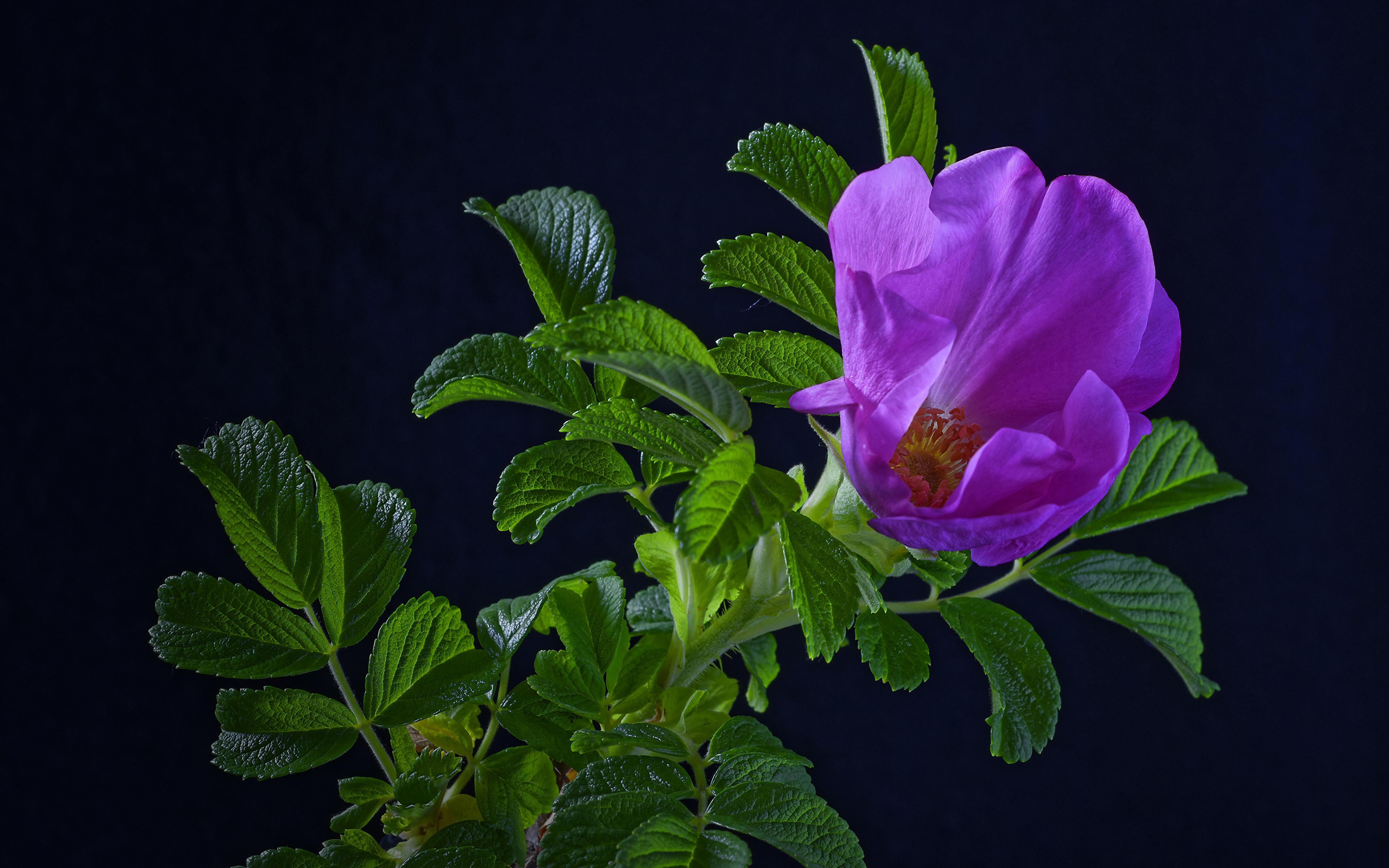 Обои для рабочего стола Листья роза фиолетовых цветок ветка Черный фон 3840x2400 лист Листва Розы Фиолетовый фиолетовая фиолетовые Цветы ветвь Ветки на ветке на черном фоне