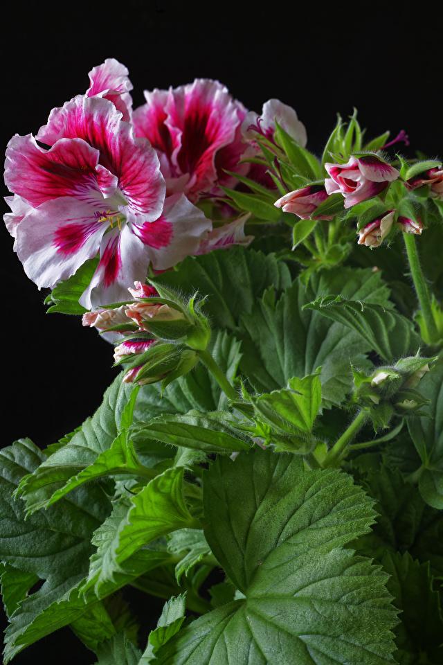 Обои для рабочего стола Листья Цветы Герань Бутон вблизи Черный фон 640x960 для мобильного телефона лист Листва цветок журавельник на черном фоне Крупным планом