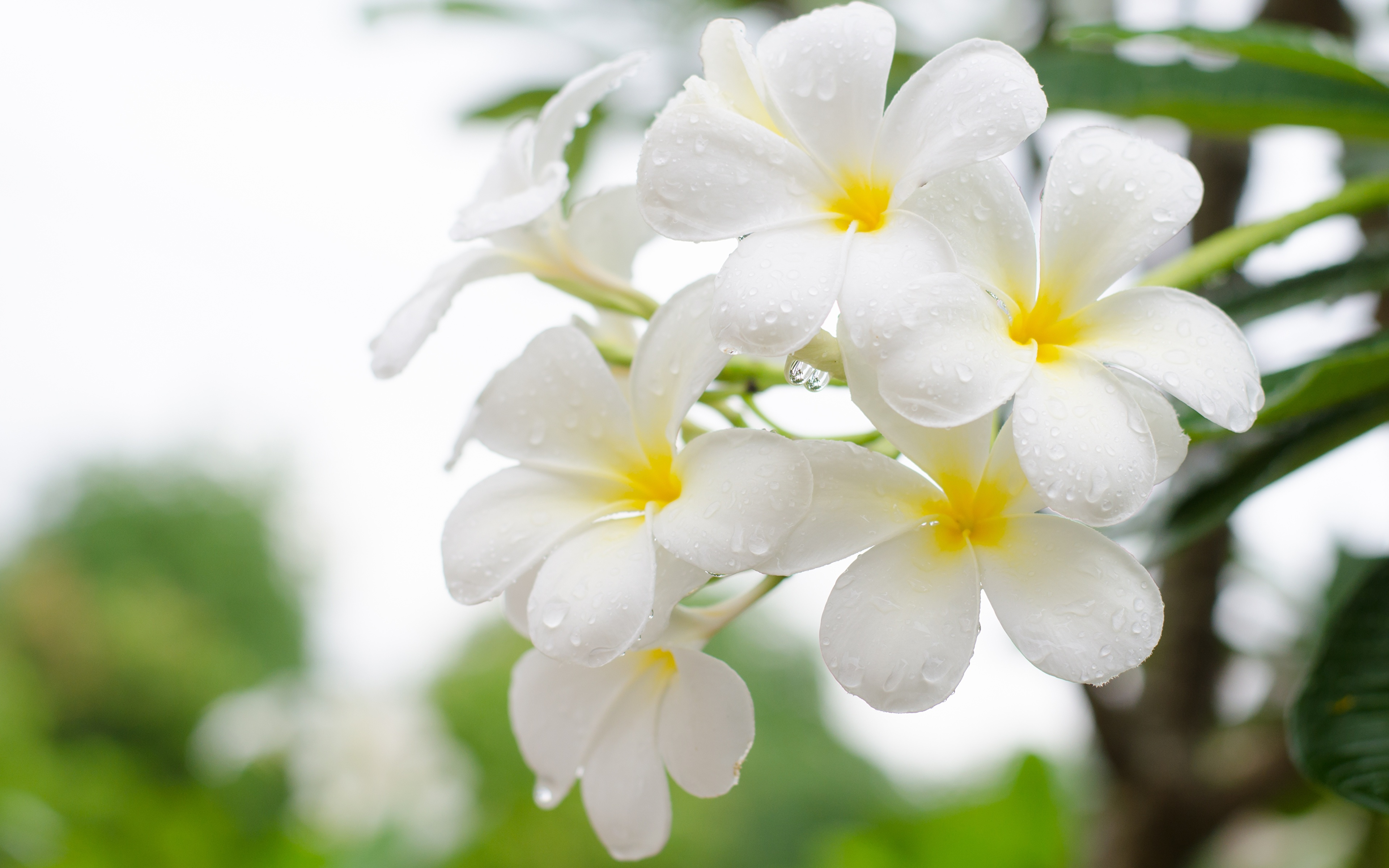Картинки Белый Цветы Плюмерия вблизи 3840x2400 белых белые белая цветок Крупным планом
