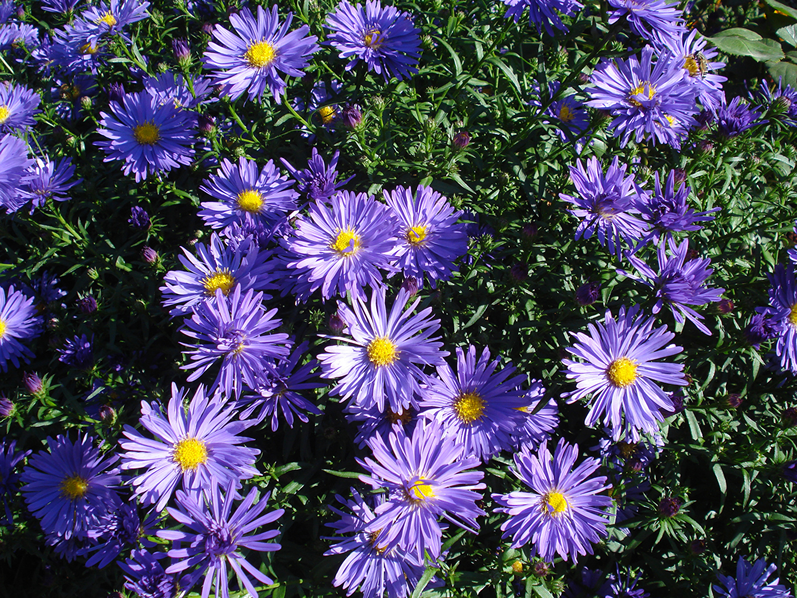 Фотографии фиолетовые Цветы Хризантемы Крупным планом 1600x1200 фиолетовая Фиолетовый фиолетовых цветок вблизи
