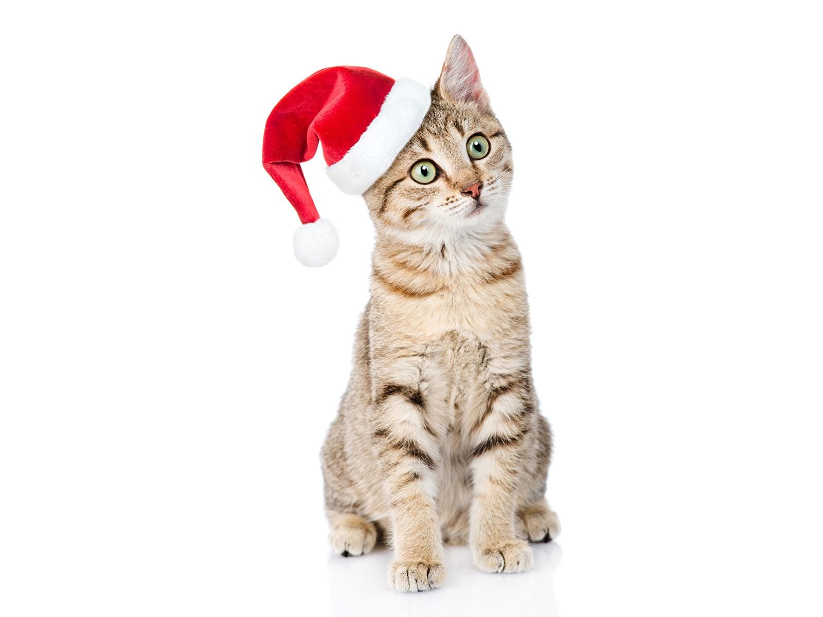 Фото Кошки Новый год в шапке Сидит смотрит животное белым фоном 1600x1200 кот коты кошка Рождество Шапки шапка сидя сидящие Взгляд смотрят Животные Белый фон белом фоне