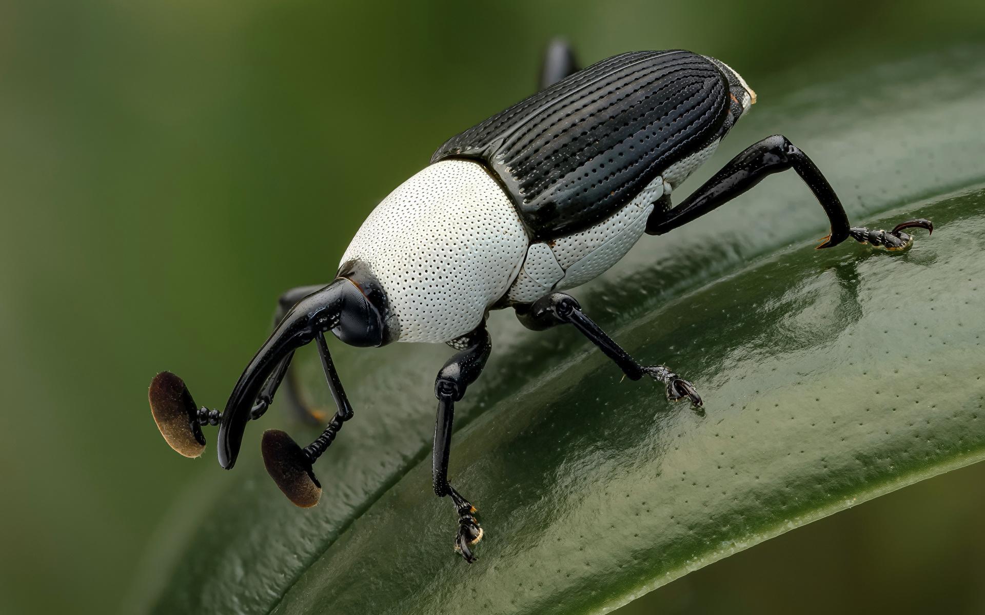 Картинки Жуки насекомое weevil животное Крупным планом 1920x1200 Насекомые вблизи Животные