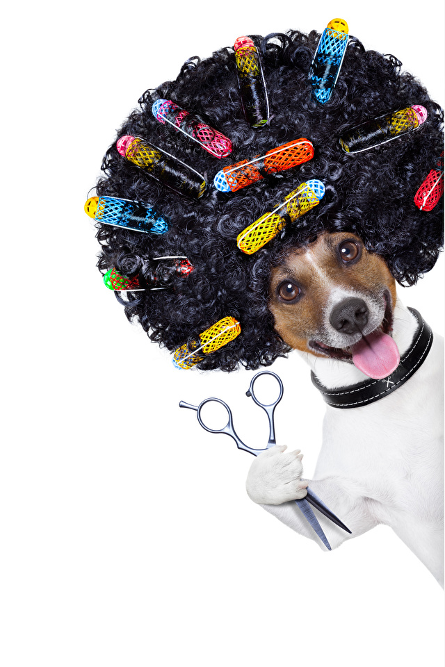 Обои для рабочего стола Причёска Белый фон Собаки Язык (анатомия) волос Джек-рассел-терьер кудри Смешные 640x960 для мобильного телефона прически белом фоне белым фоном собака языком Волосы смешной смешная забавные Кудрявые
