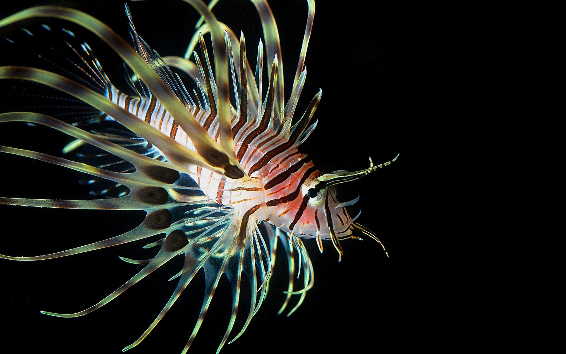 Фотографии крылатка Рыбы Животные 1920x1200 Крылатки животное