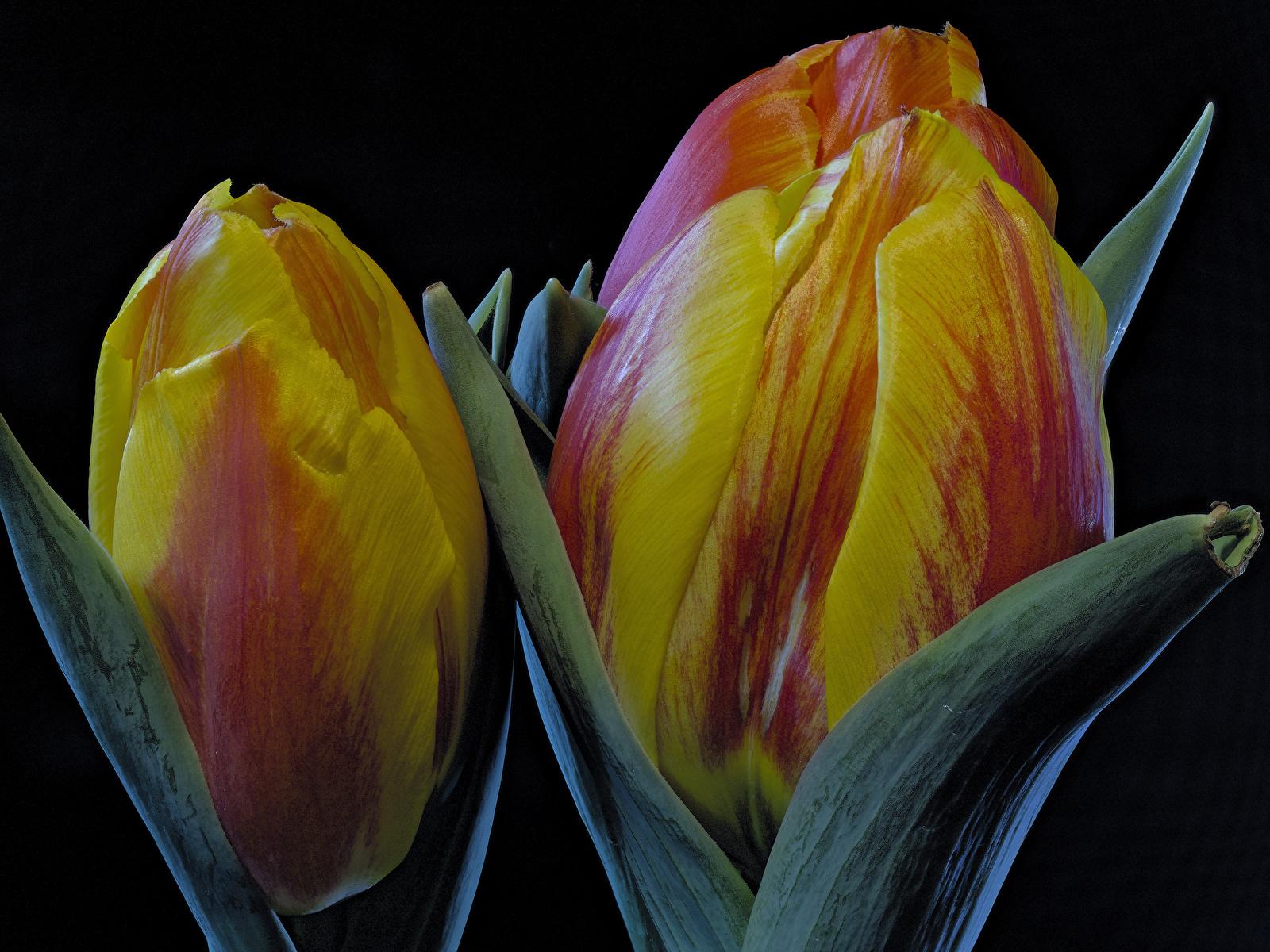 Фотографии Тюльпаны Цветы вблизи Черный фон 1600x1200 Крупным планом