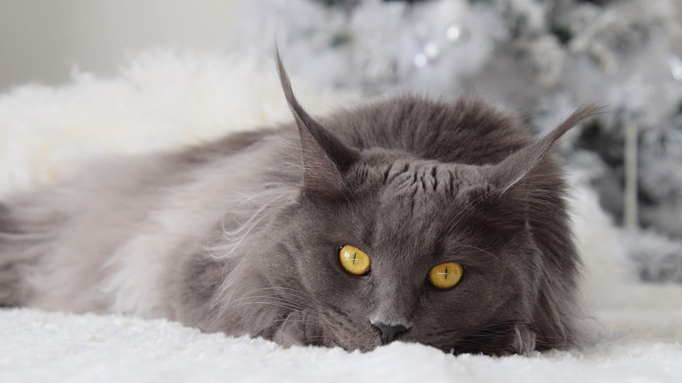 Картинка Кошки Серый смотрит Животные 1366x768 кот коты кошка серые серая Взгляд смотрят животное