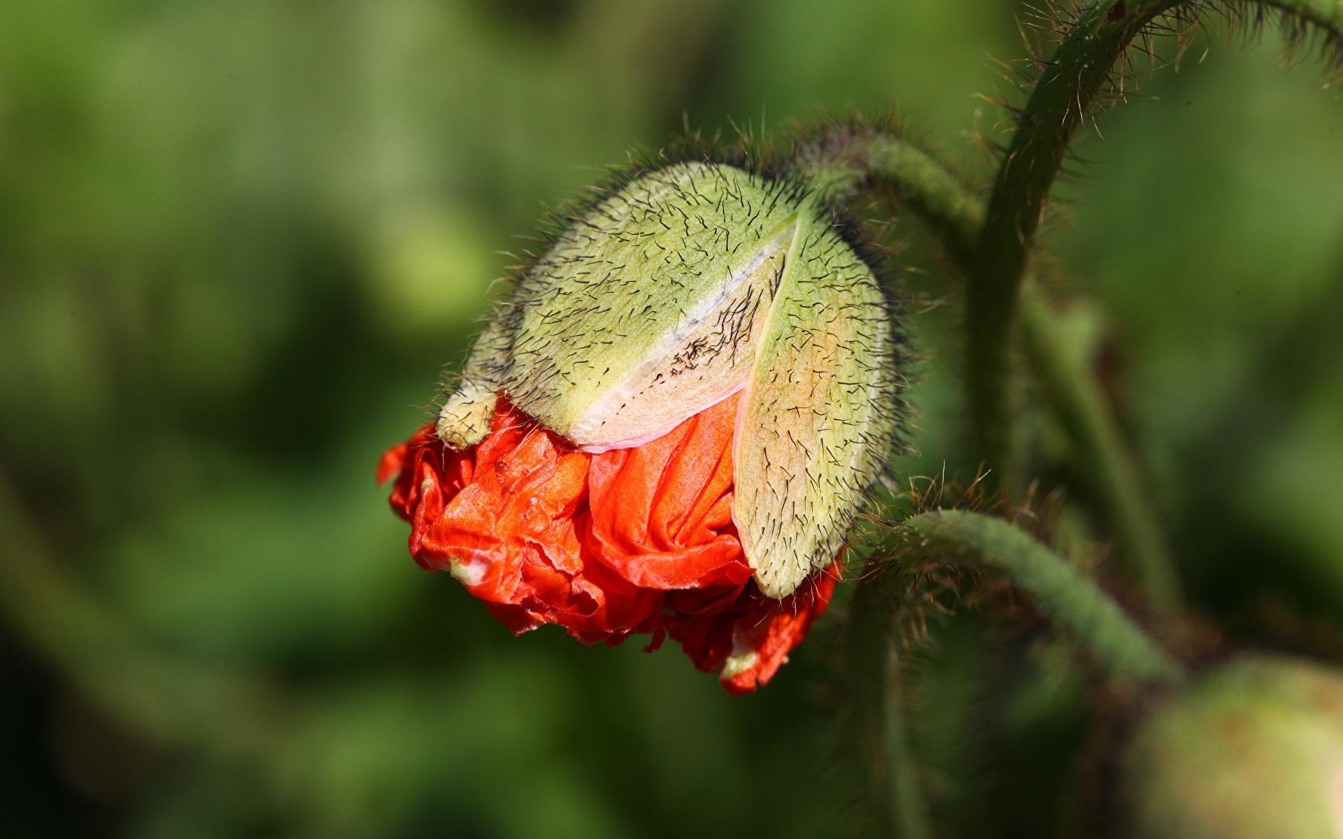 Фото боке Маки Цветы Бутон вблизи 1920x1200 Размытый фон мак цветок Крупным планом