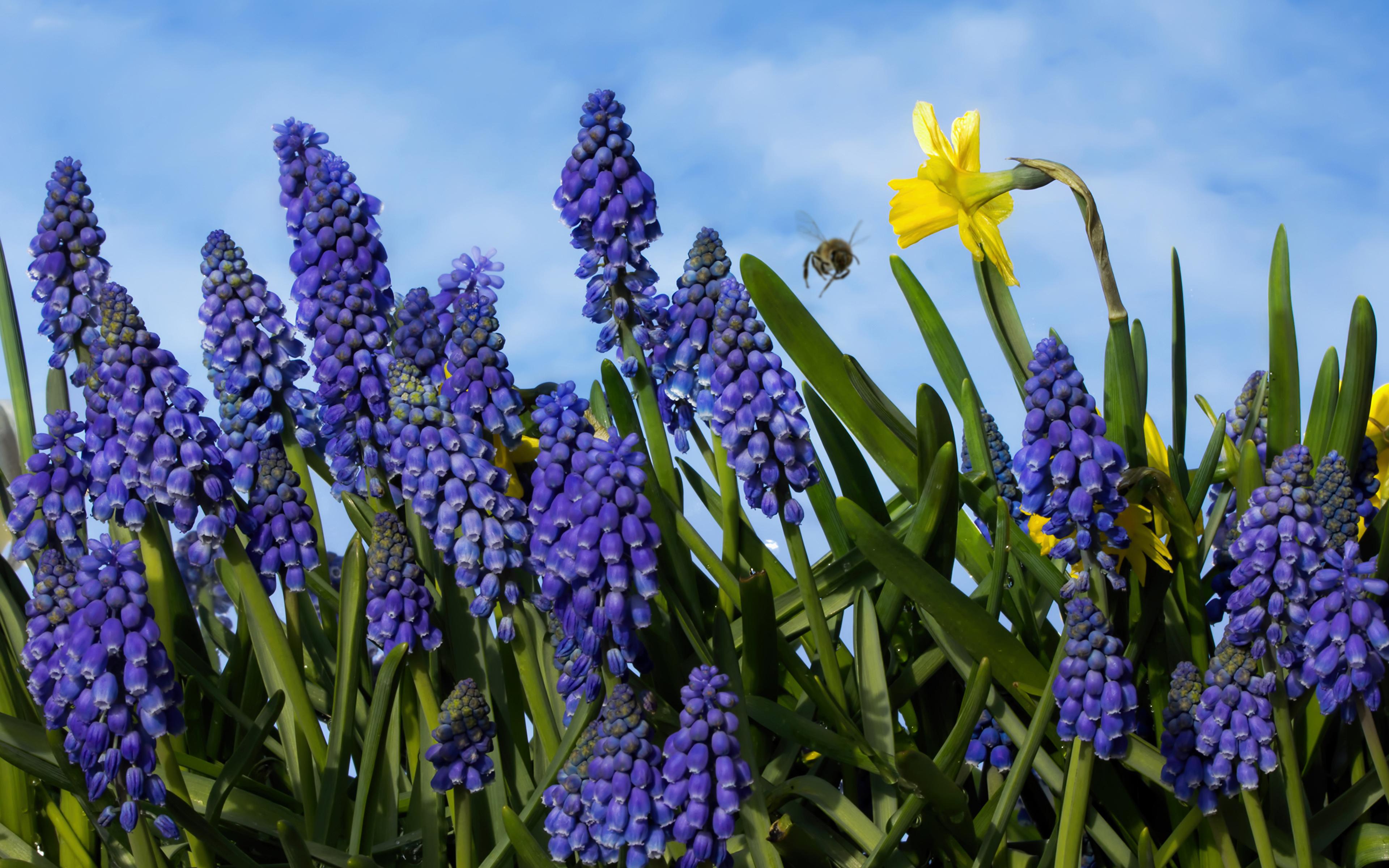Фотографии Muscari Цветы Нарциссы Гиацинты Крупным планом 3840x2400 цветок вблизи