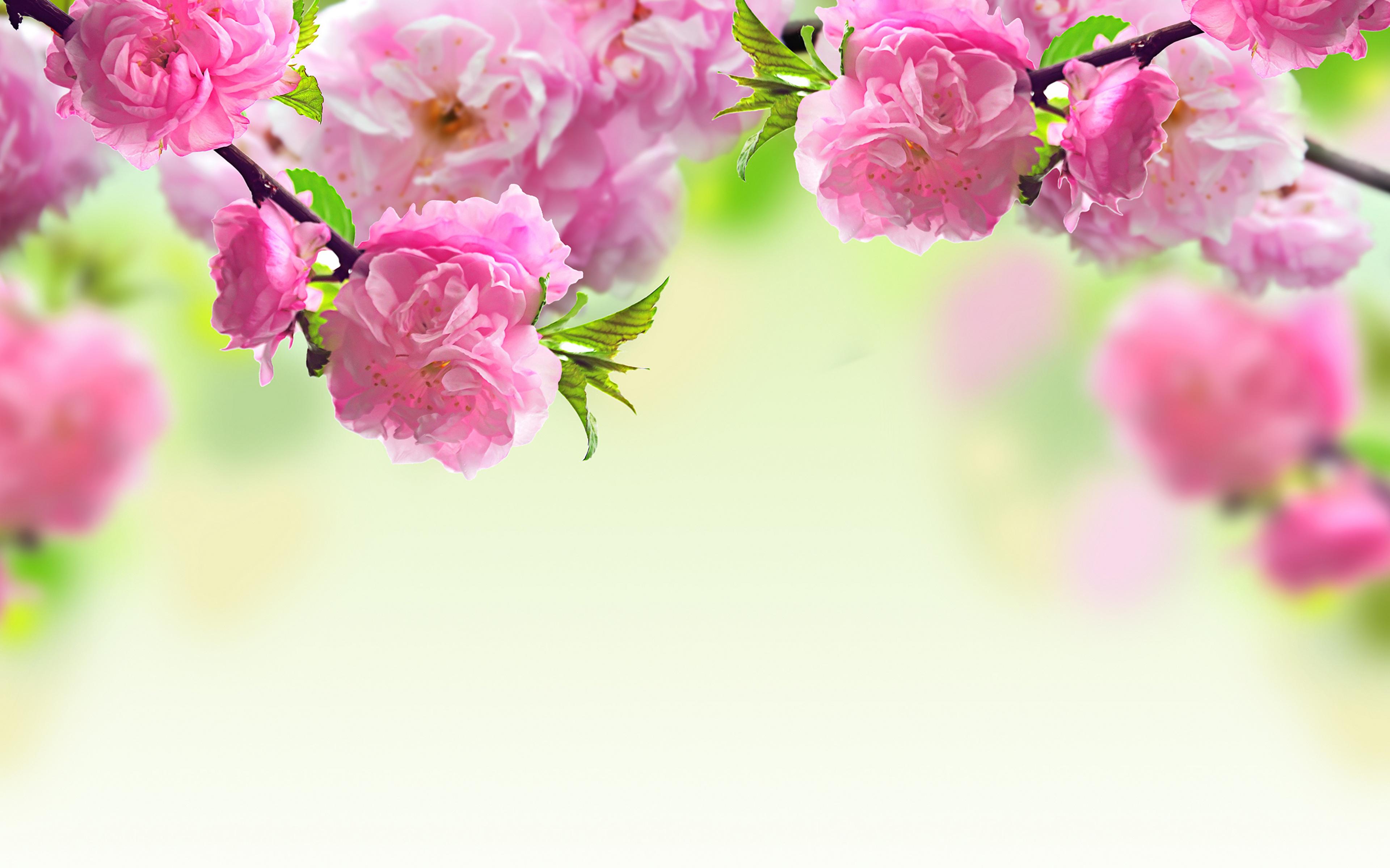 dark pink flowers - HD1600×900