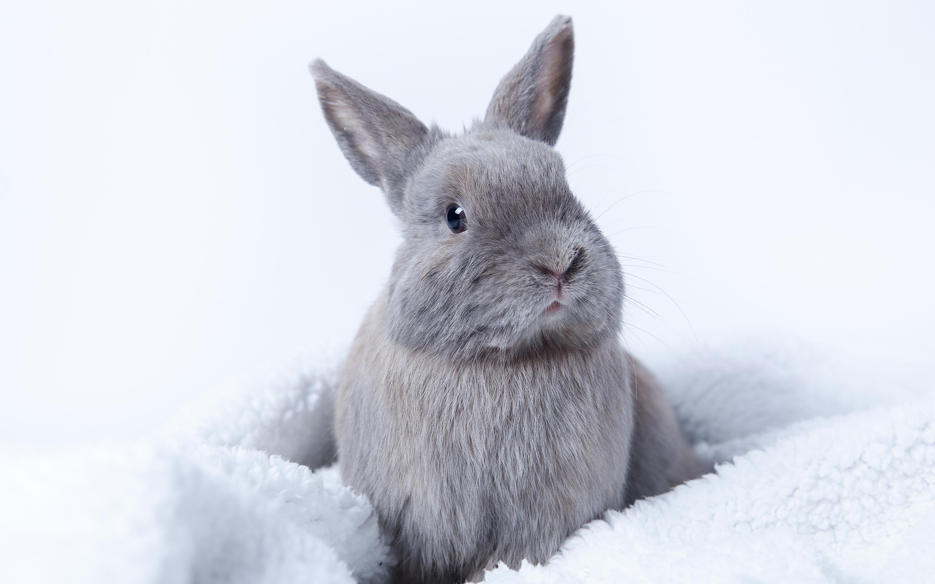 Обои для рабочего стола кролик серая животное 3840x2400 Кролики Серый серые Животные
