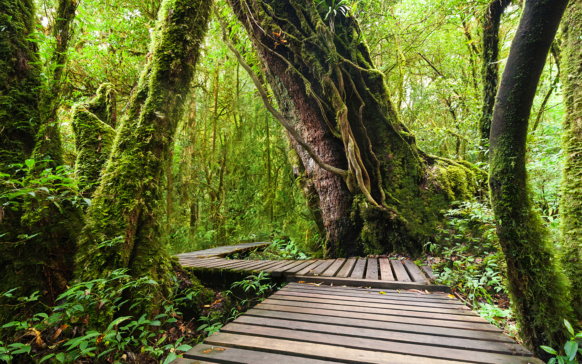 Обои Таиланд Doi Inthanon National Park Природа Леса Парки Тропики Ствол дерева Мох 1920x1200 мха мхом