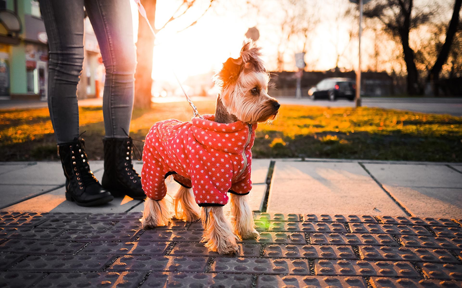 Фотографии Йоркширский терьер Собаки Животные 1920x1200 собака животное