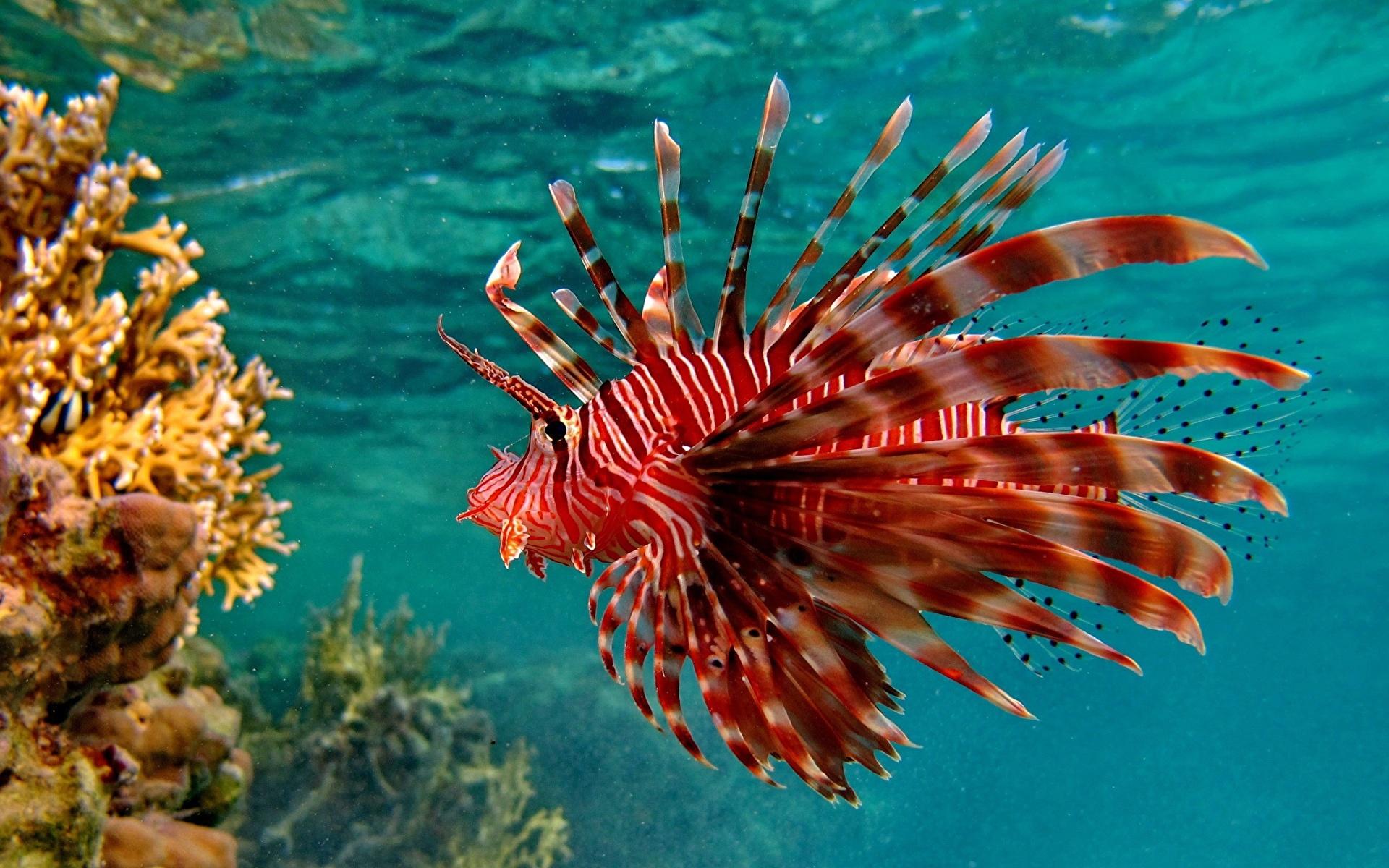 Фотография Крылатки Рыбы Подводный мир Кораллы красные Животные 1920x1200 крылатка красная Красный красных животное