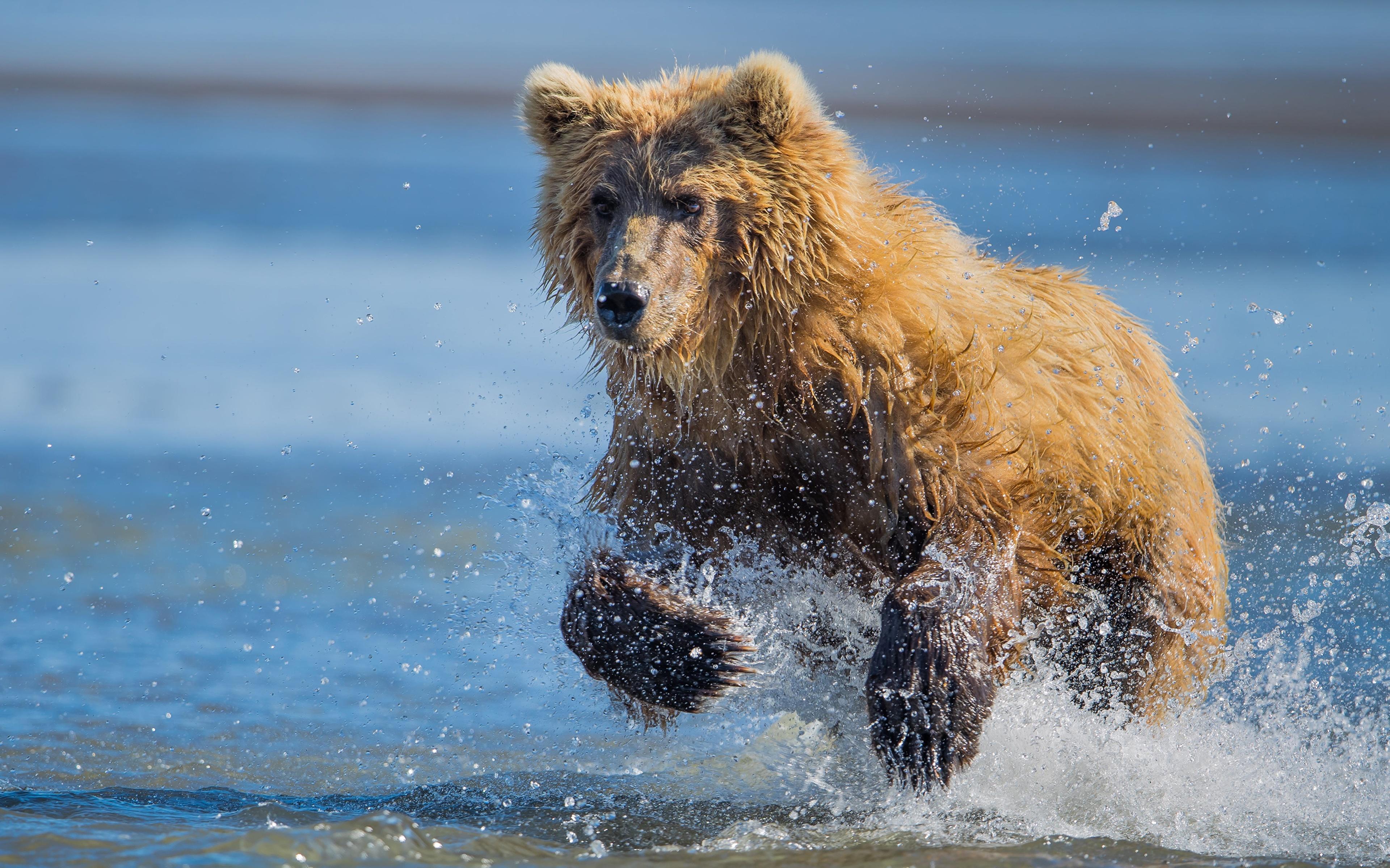 Фотографии Бурые Медведи медведь бежит Лапы Брызги Взгляд Животные 3840x2400 Гризли Медведи Бег бегущая бегущий лап с брызгами смотрит смотрят животное