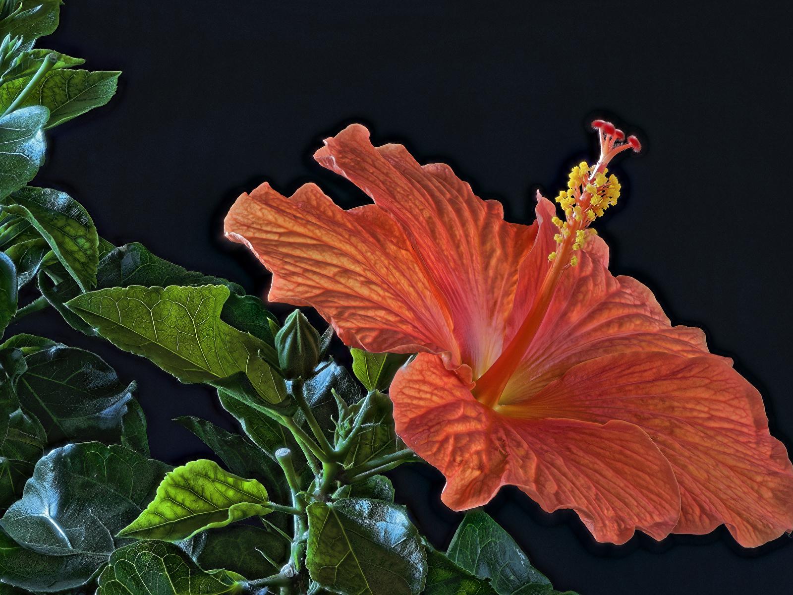 Фотография HDR оранжевая цветок Гибискусы вблизи Черный фон 1600x1200 HDRI оранжевых оранжевые Оранжевый Цветы на черном фоне Крупным планом