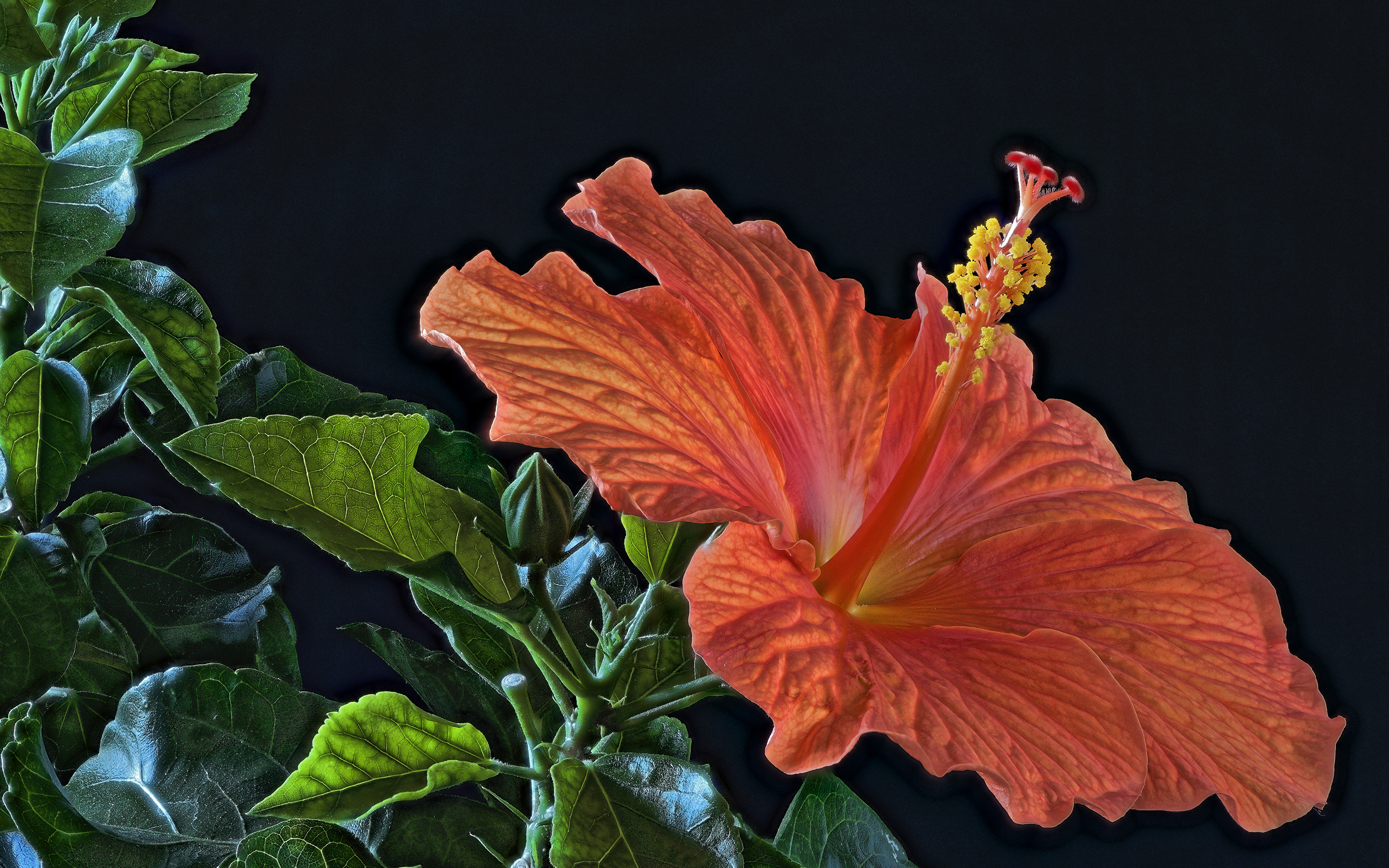 Фотография HDR оранжевая цветок Гибискусы вблизи Черный фон 3840x2400 HDRI оранжевых оранжевые Оранжевый Цветы на черном фоне Крупным планом