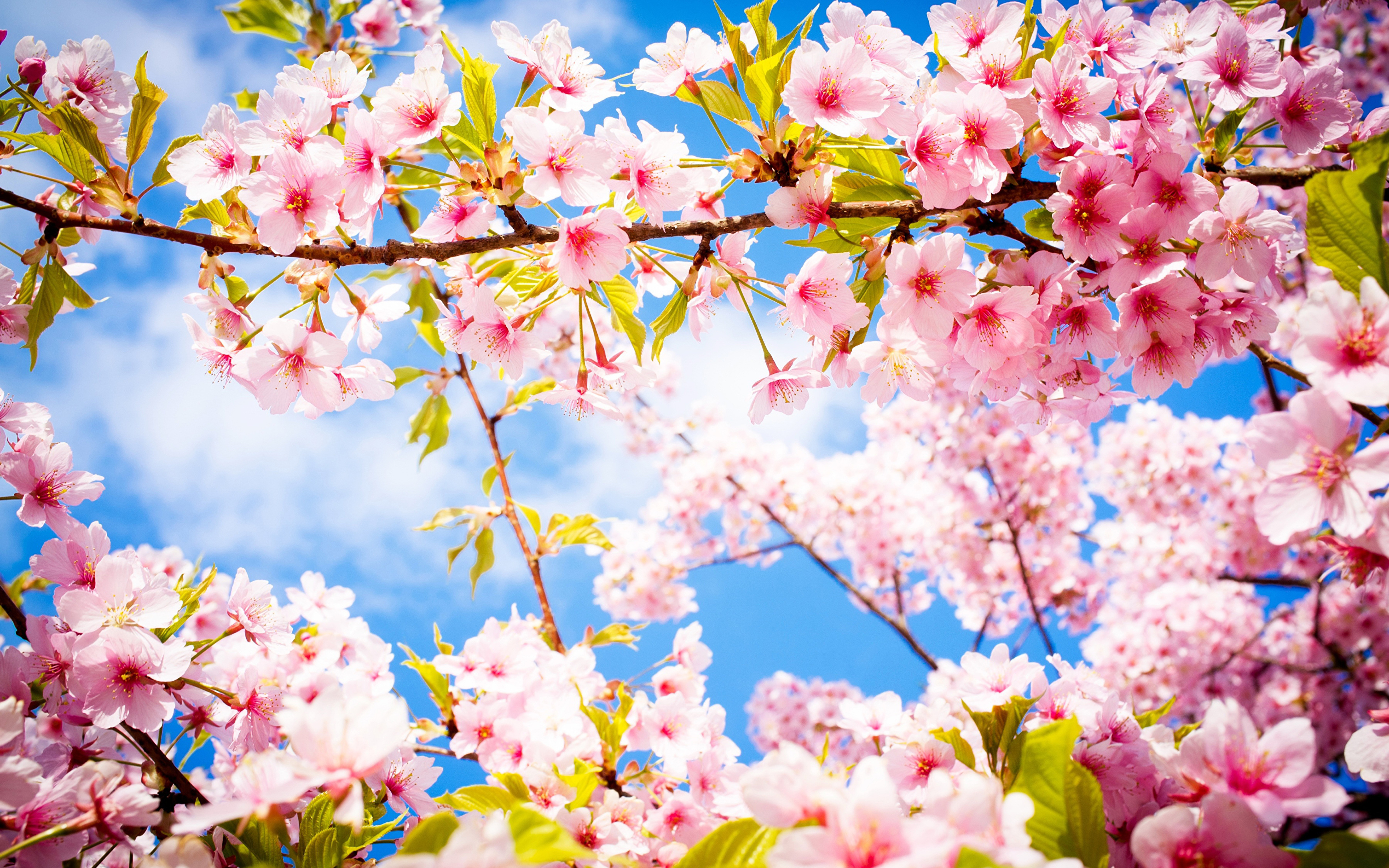 cherry blossom pictures - HD3840×2400