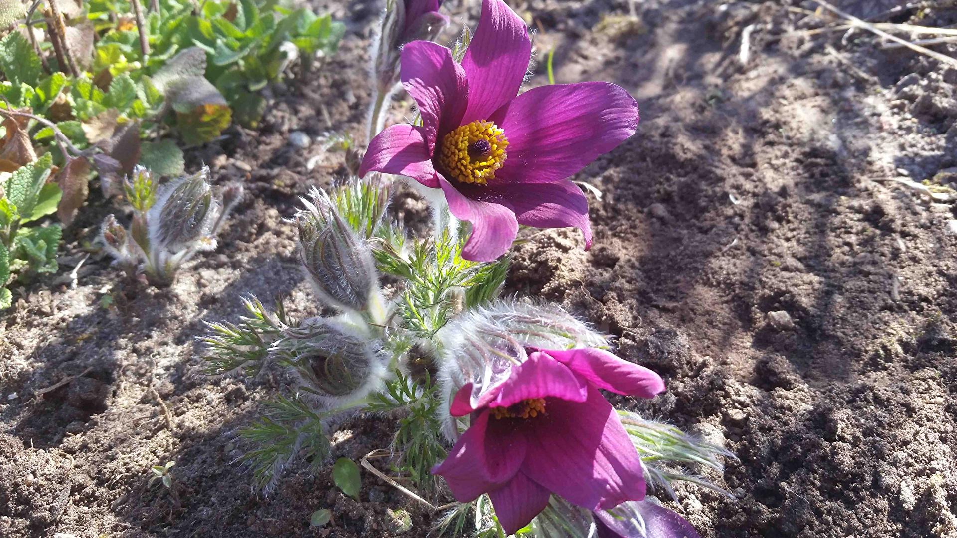 Фотографии цветок Прострел Бутон вблизи 1920x1080 Цветы Крупным планом