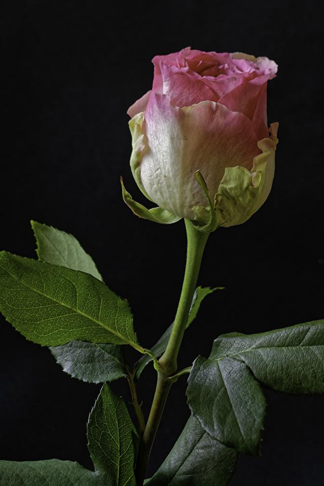 Фотографии Розы розовых Цветы вблизи на черном фоне 640x960 роза Розовый розовая розовые цветок Черный фон Крупным планом