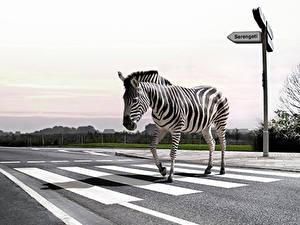 Картинки Зебры Дороги Асфальт Юмор Животные